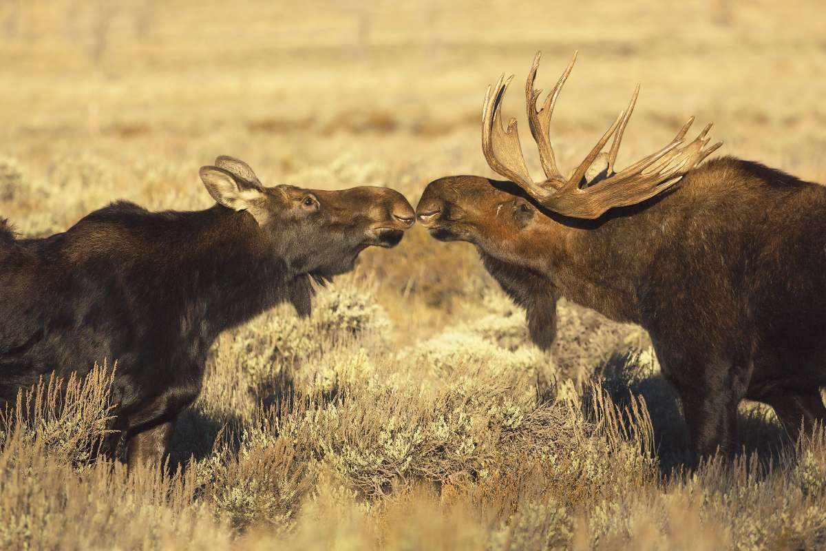 Two moose kissing in a meadow near Yellowstone National Park.